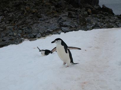 Careless penguin