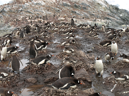 Jentoo penguins colony