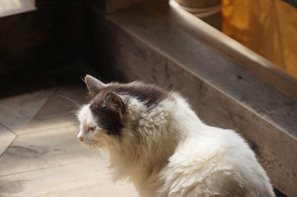 文殊院の猫