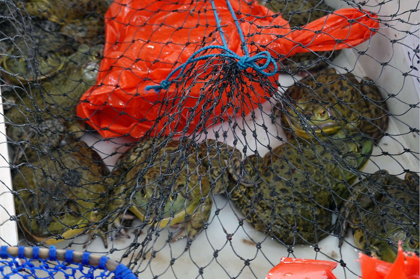 朱家角市場の蛙