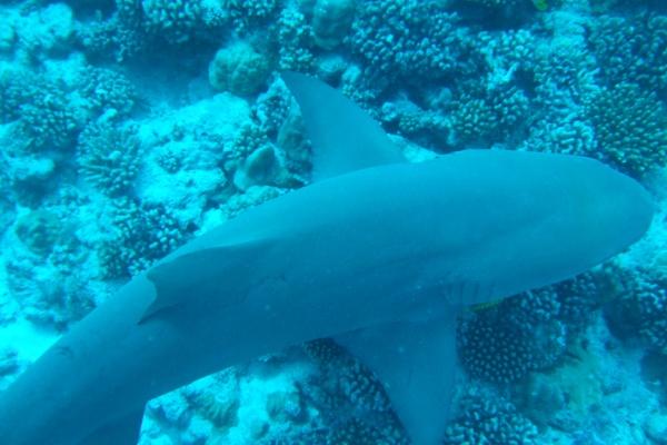 ボラボラ島のサメ