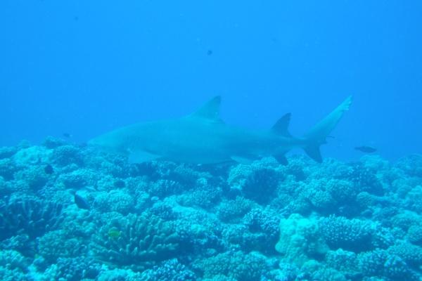ボラボラ島のサメ2