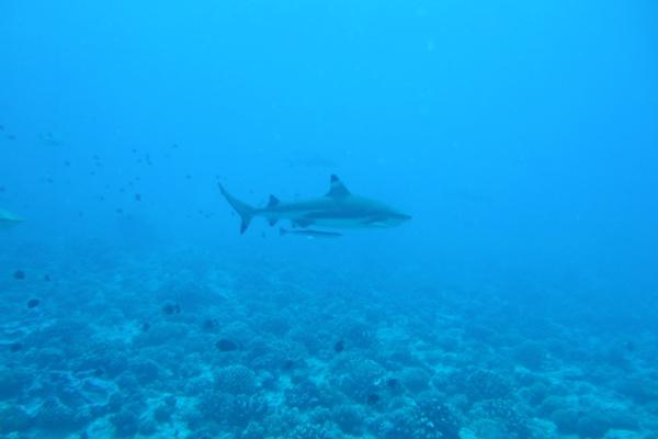 ボラボラ島のブラックチップシャーク