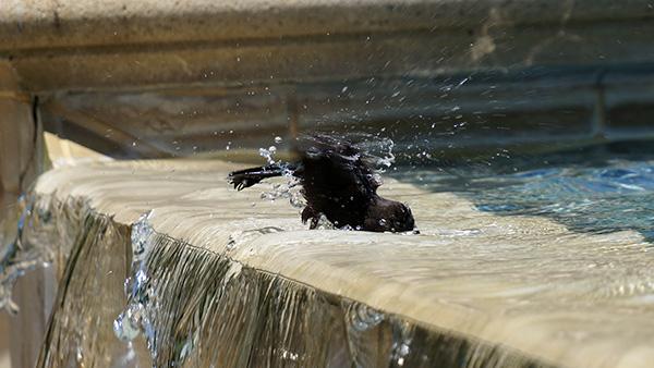 噴水で水浴びする鳥