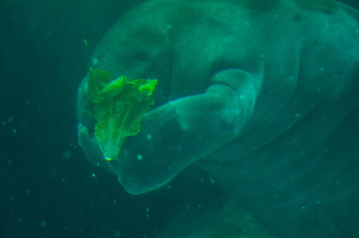エプコットアクアリウム水中マナティ