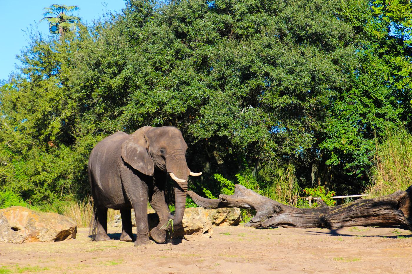 キリマンジャロサファリの象