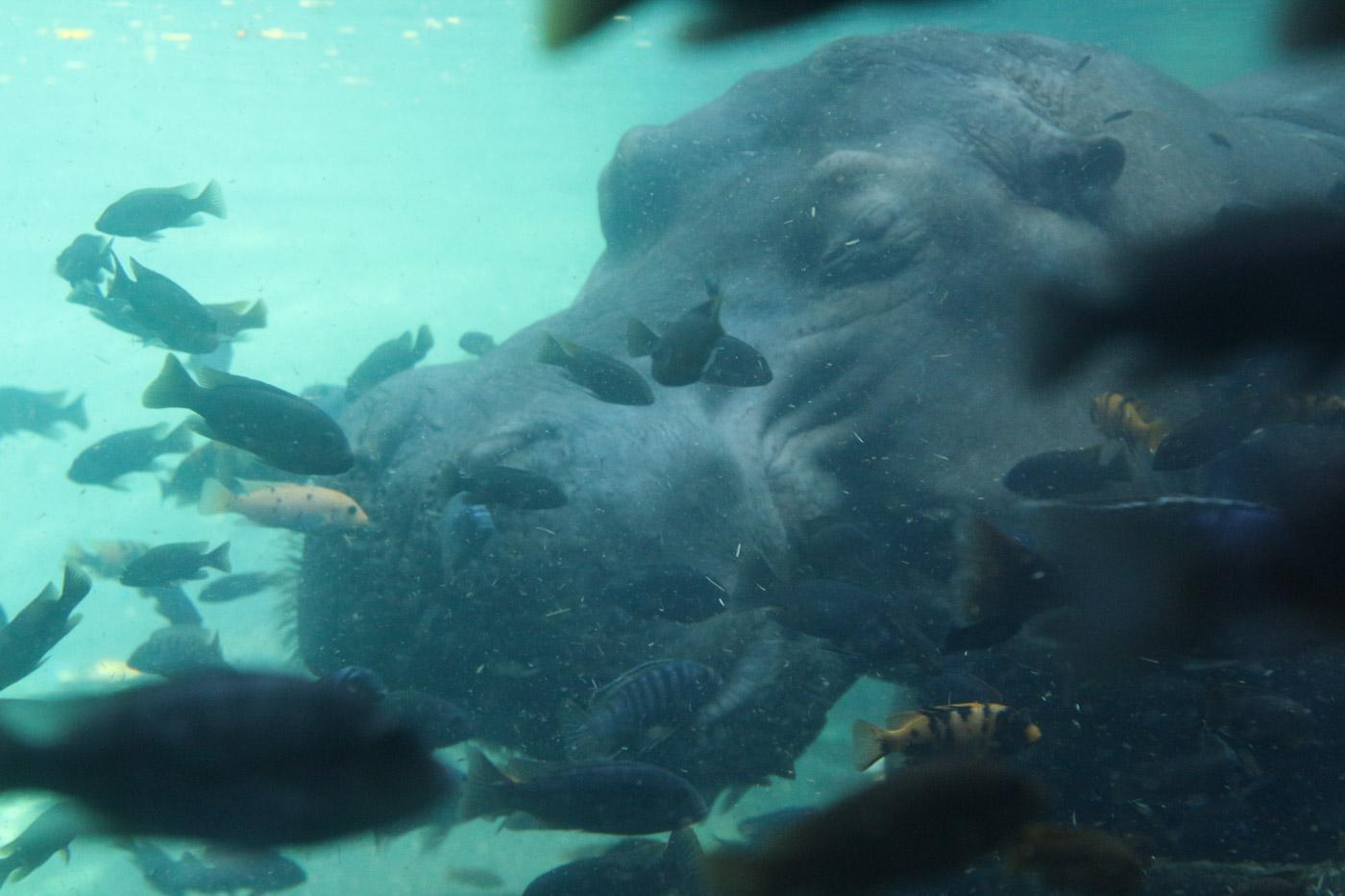 水中のカバ