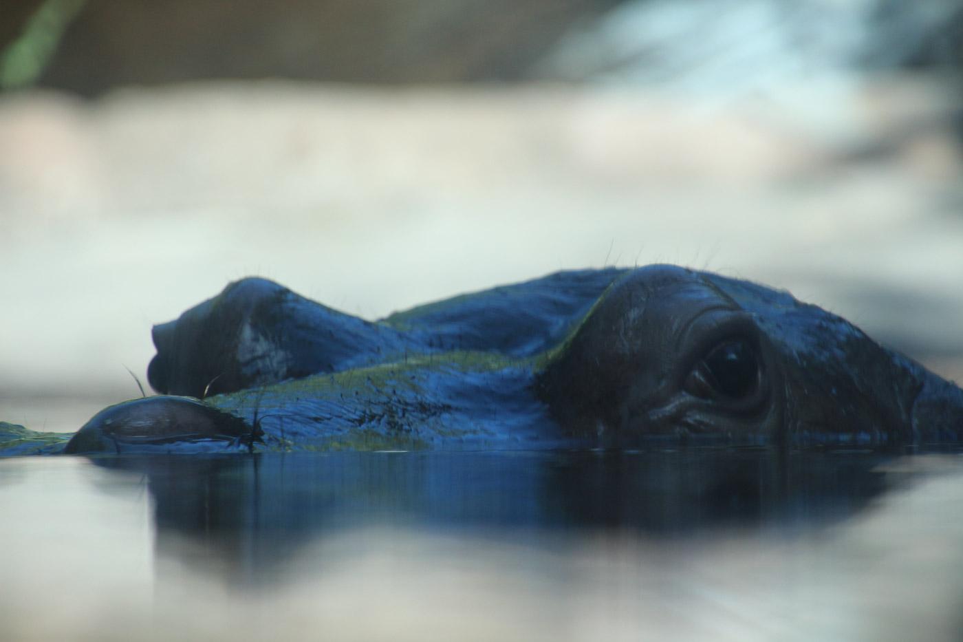 水面のカバ