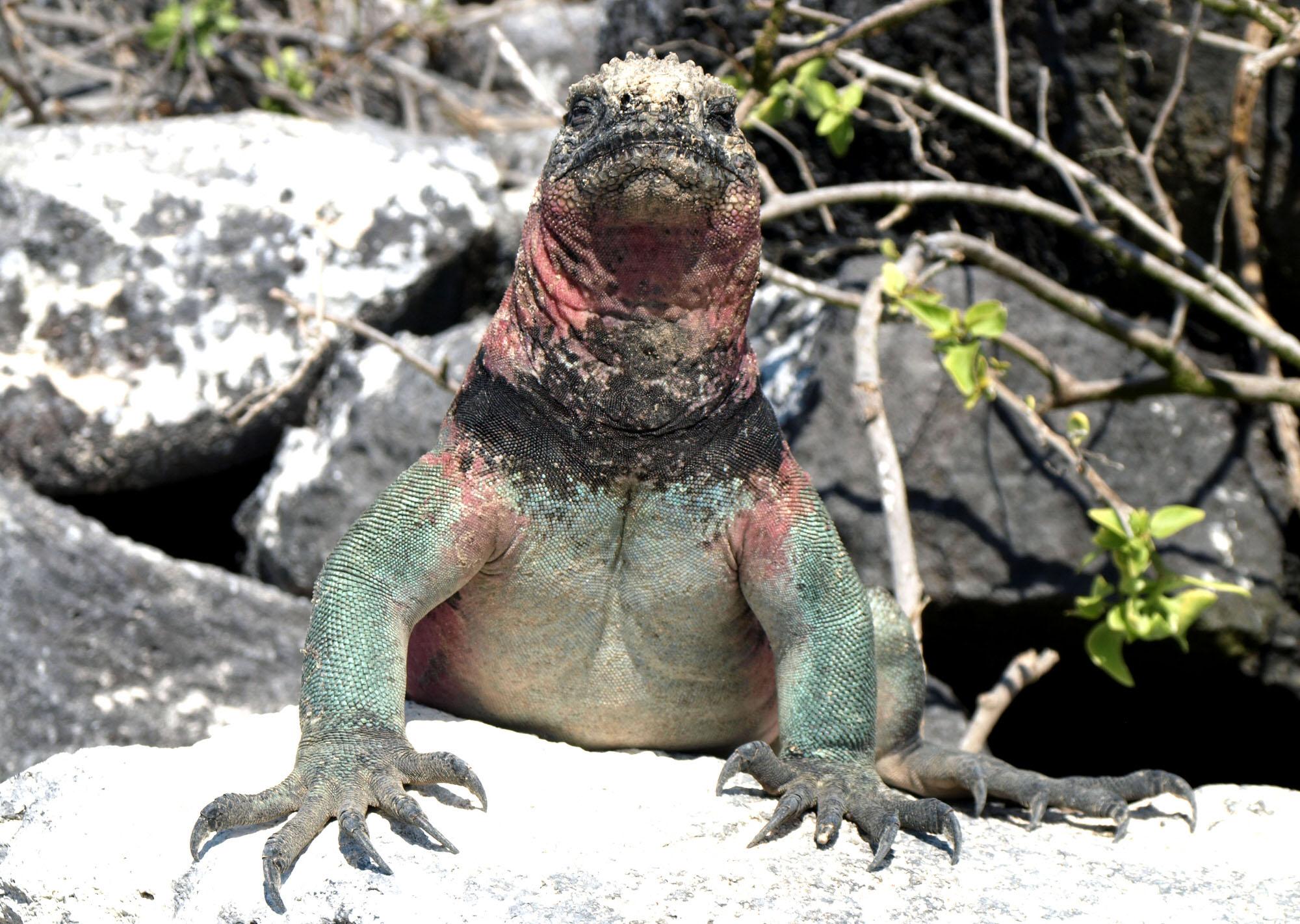 garapagos-iguana